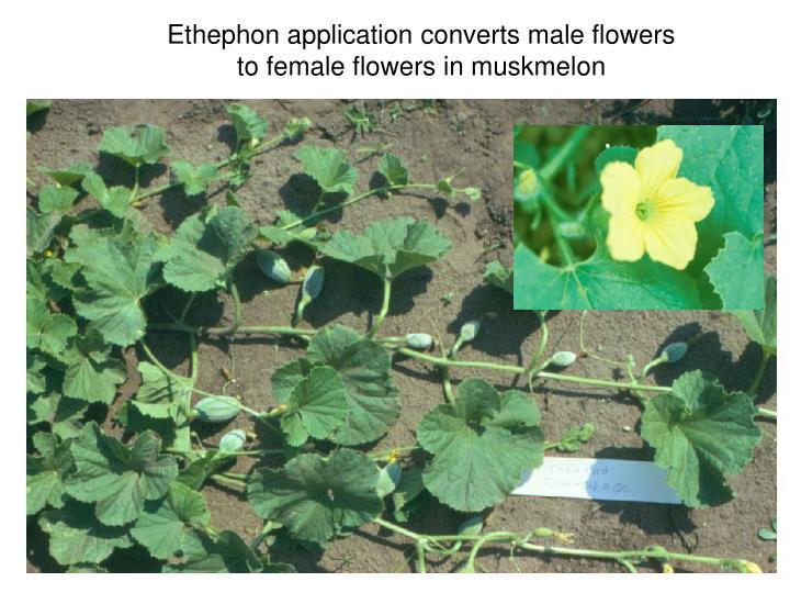 Ethephon application converts male flowers