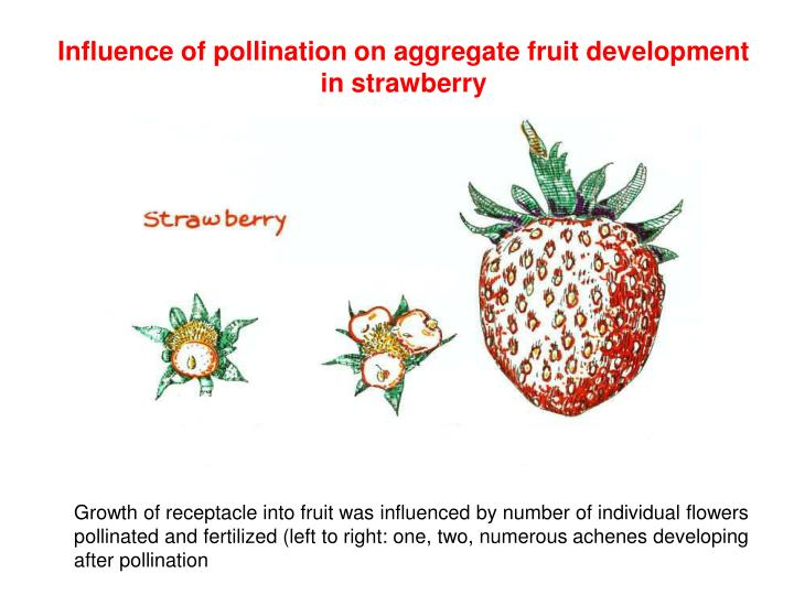 Influence of pollination on aggregate fruit development in strawberry