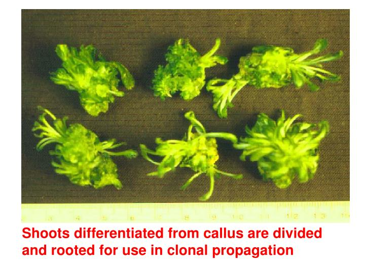 Shoots differentiated from callus are divided and rooted for use in clonal propagation