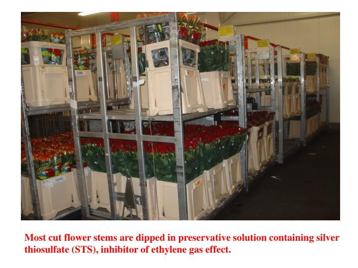 Most cut flower stems are dipped in preservative solution containing silver thiosulfate (STS), inhibitor of ethylene gas effect.