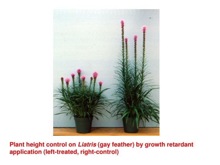 Plant height control on