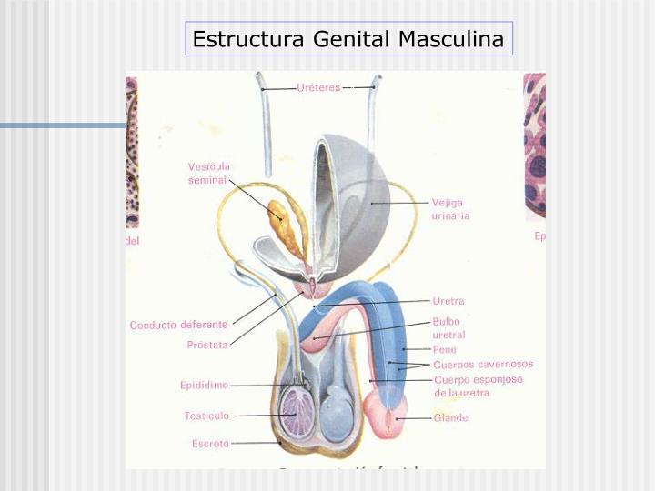 Estructura Genital Masculina