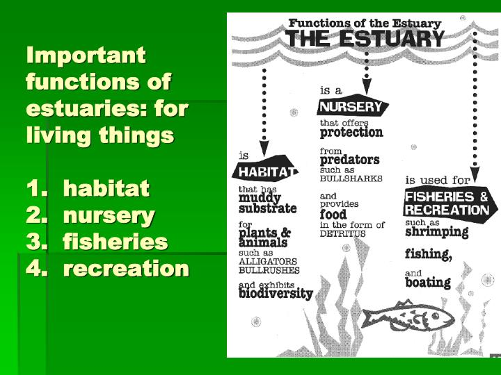 the importance of estuaries in the ecosystem The role of rays in the ecosystem  often these nursery areas are located in estuaries or shallow mangrove-fringed  the importance of rays in the ecosystem.