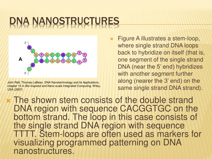 Figure A illustrates a stem-loop, where single strand DNA loops back to hybridize on itself (that is, one segment of the single strand DNA (near the 5' end) hybridizes with another segment further along (nearer the 3' end) on the same single strand DNA strand).