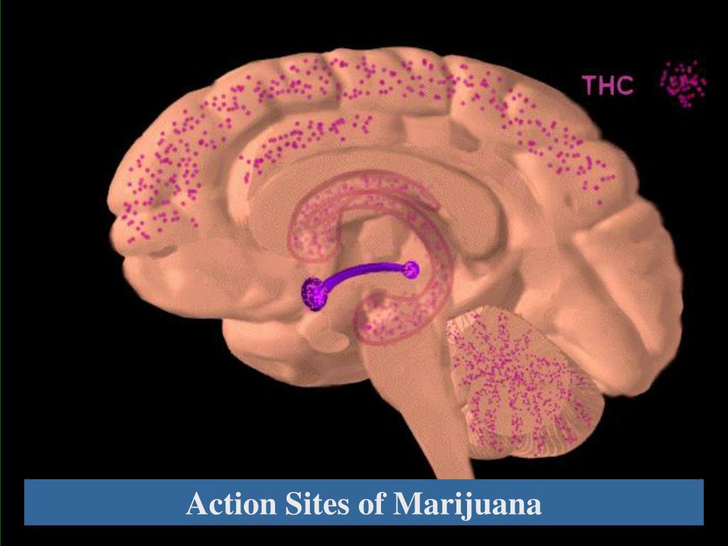 Action Sites of Marijuana