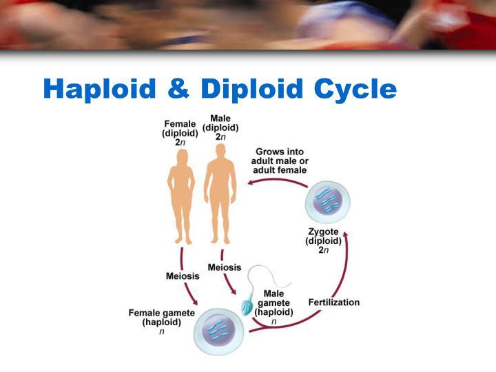 Haploid & Diploid Cycle