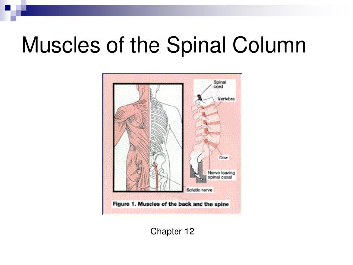 muscles of the spinal column n.