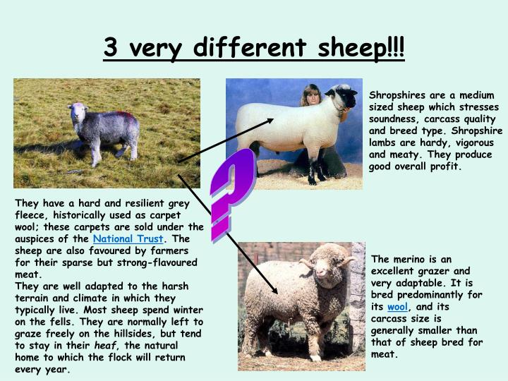 3 very different sheep!!!