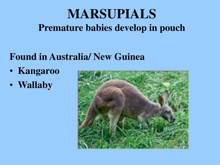 Marsupials premature babies develop in pouch