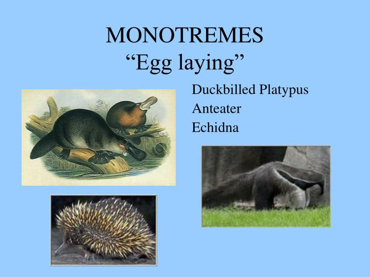 Monotremes egg laying