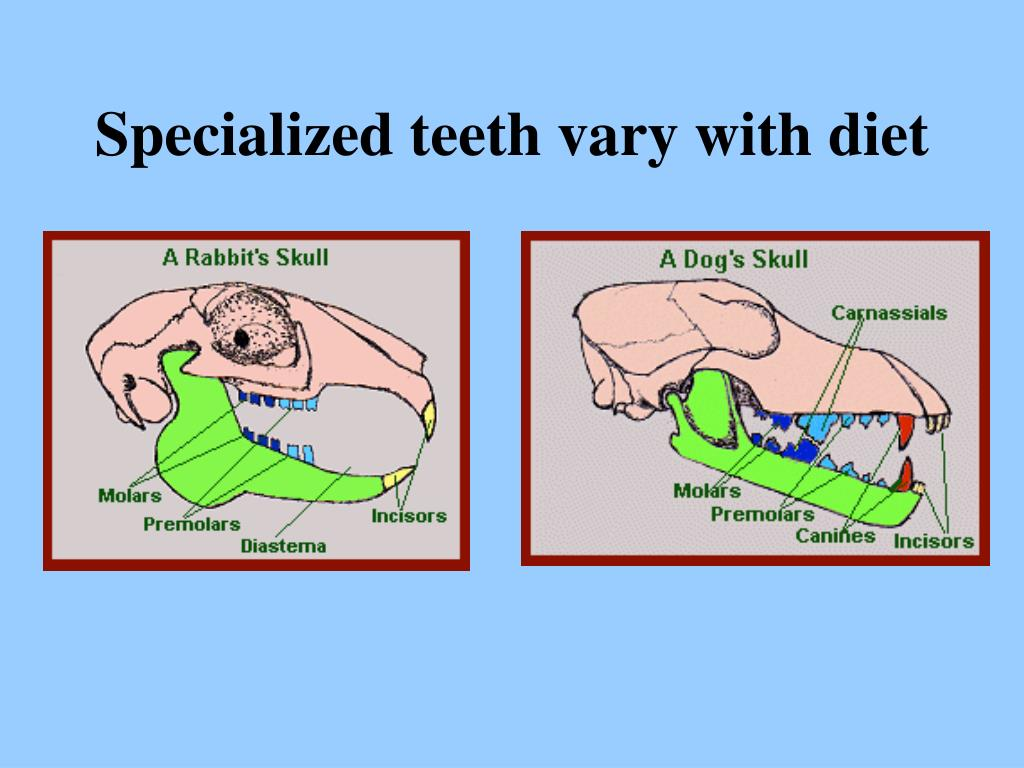 Specialized teeth vary with diet