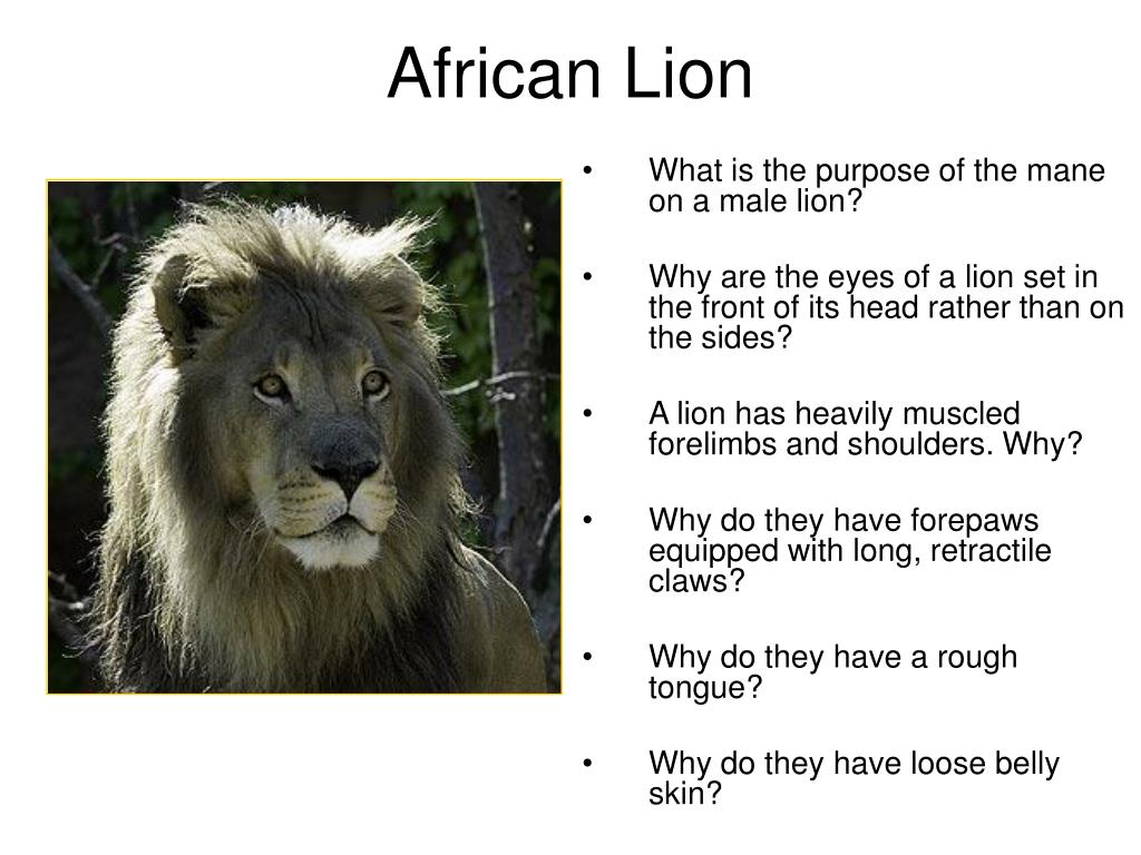 What is the purpose of the mane on a male lion?