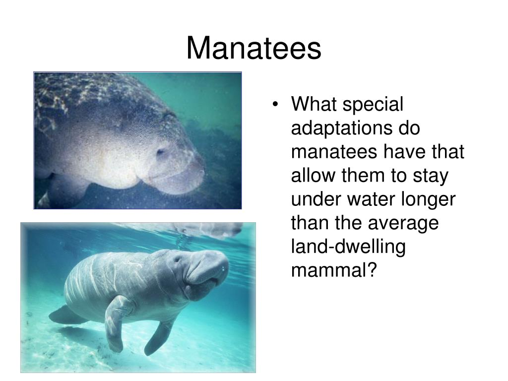 What special adaptations do manatees have that allow them to stay under water longer than the average land-dwelling mammal?