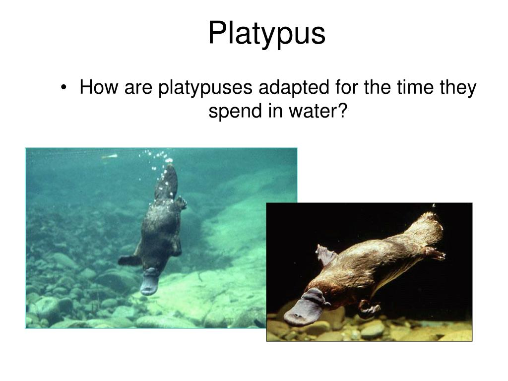How are platypuses adapted for the time they spend in water?