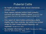 pubertal cattle