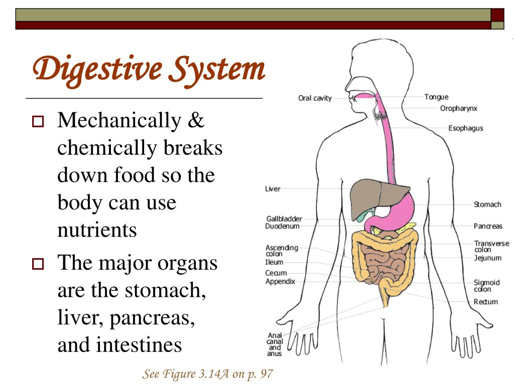 Ppt Digestive System Powerpoint Presentation Id1451264