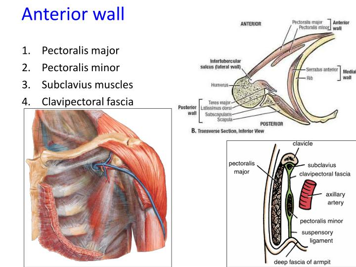 Ppt Anatomy Of The Axilla Powerpoint Presentation Id1451798