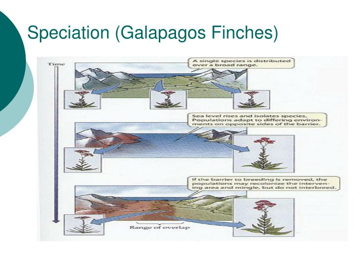 Speciation (Galapagos Finches)