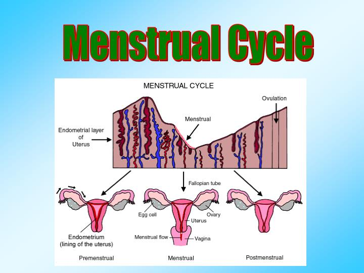 what are the four phases of the menstrual cycle
