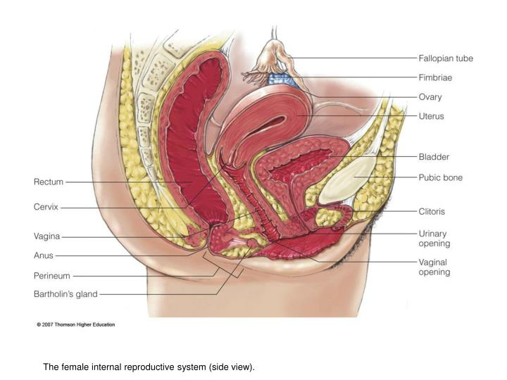 The female internal reproductive system (side view).