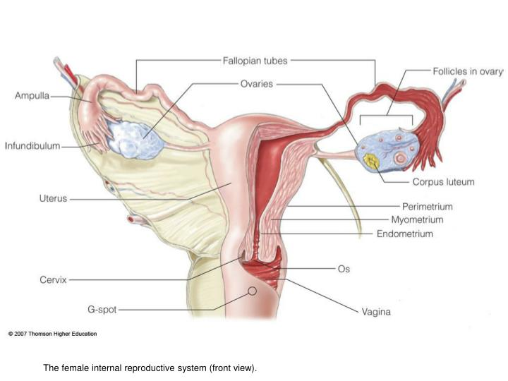 The female internal reproductive system (front view).