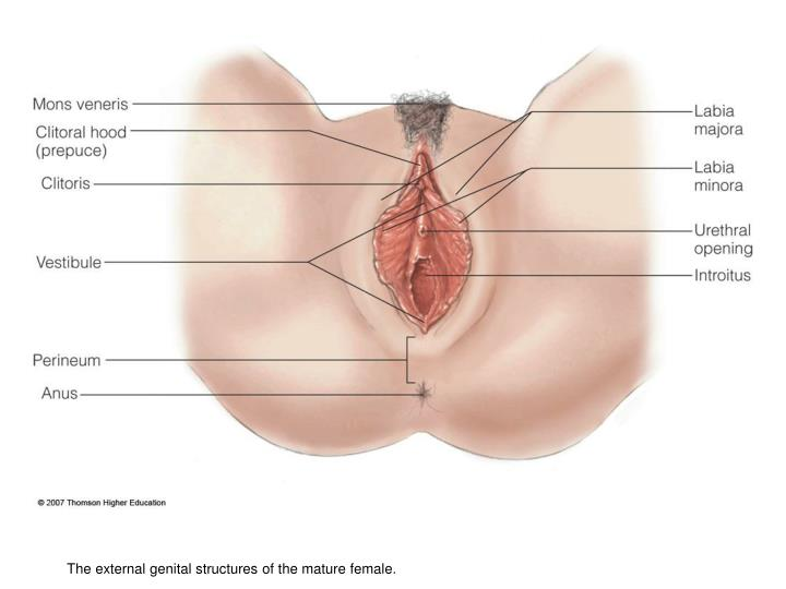 The external genital structures of the mature female.