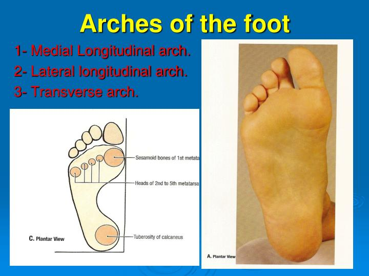PPT - Arches of the foot PowerPoint Presentation - ID:1453796