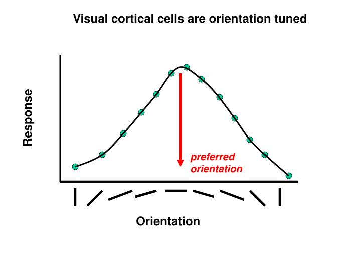 Visual cortical cells are orientation tuned