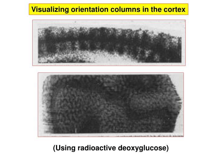 Visualizing orientation columns in the cortex