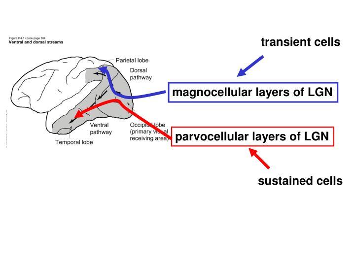 transient cells