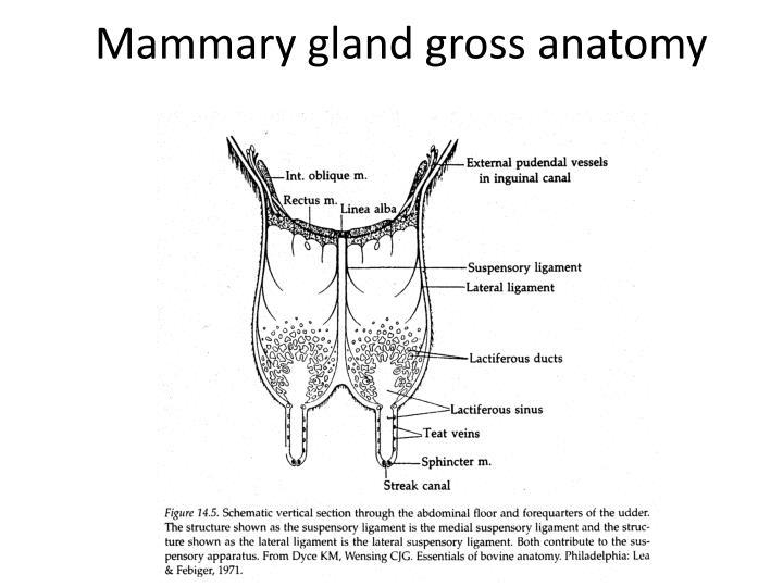 Mammary gland gross anatomy