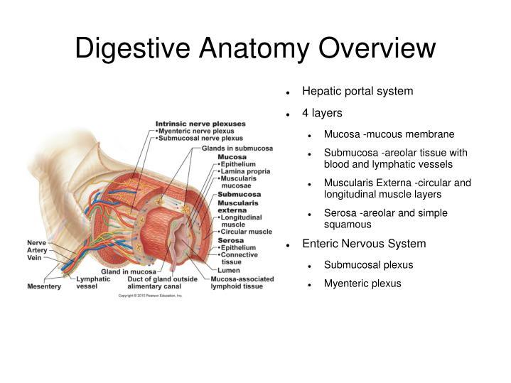 Digestive Anatomy Overview