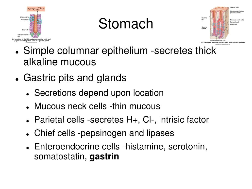 Ppt Digestive System Chapter 23 Powerpoint Presentation Free