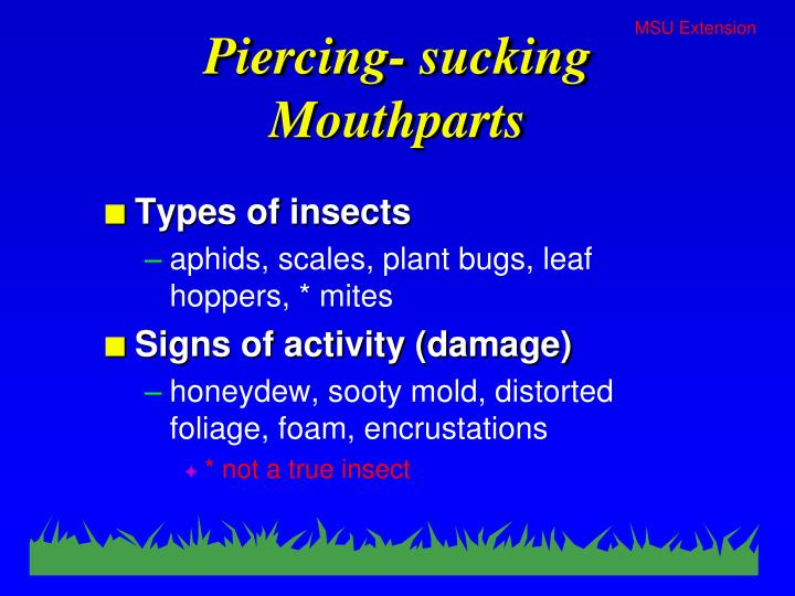 Piercing- sucking Mouthparts