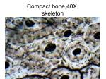compact bone 40x skeleton
