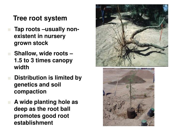 Tree root system