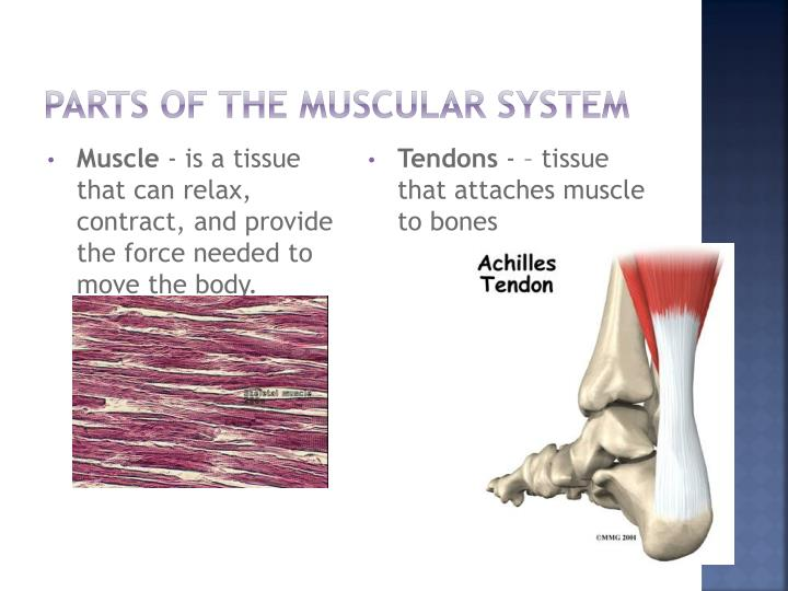 Ppt Skeletal And Muscular System Powerpoint Presentation Id1465955