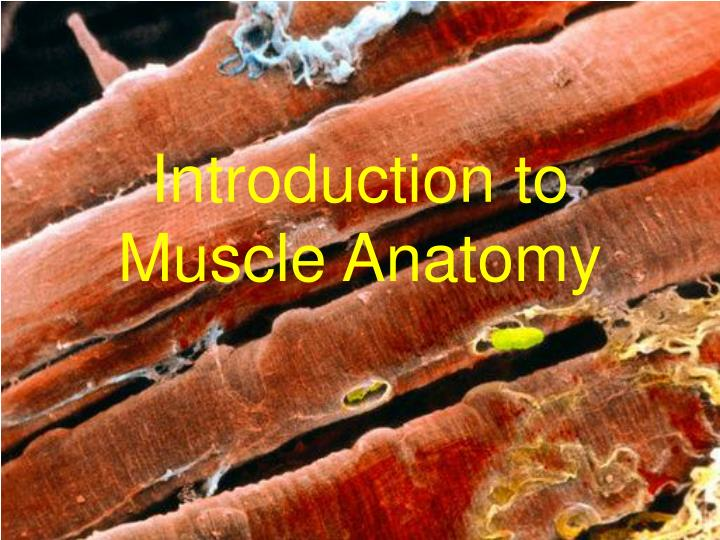introduction to muscle anatomy n.