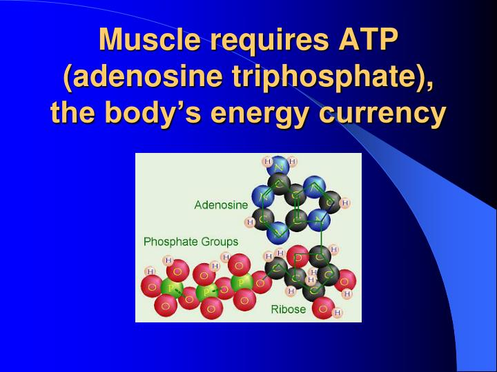 Muscle requires ATP  (adenosine triphosphate),
