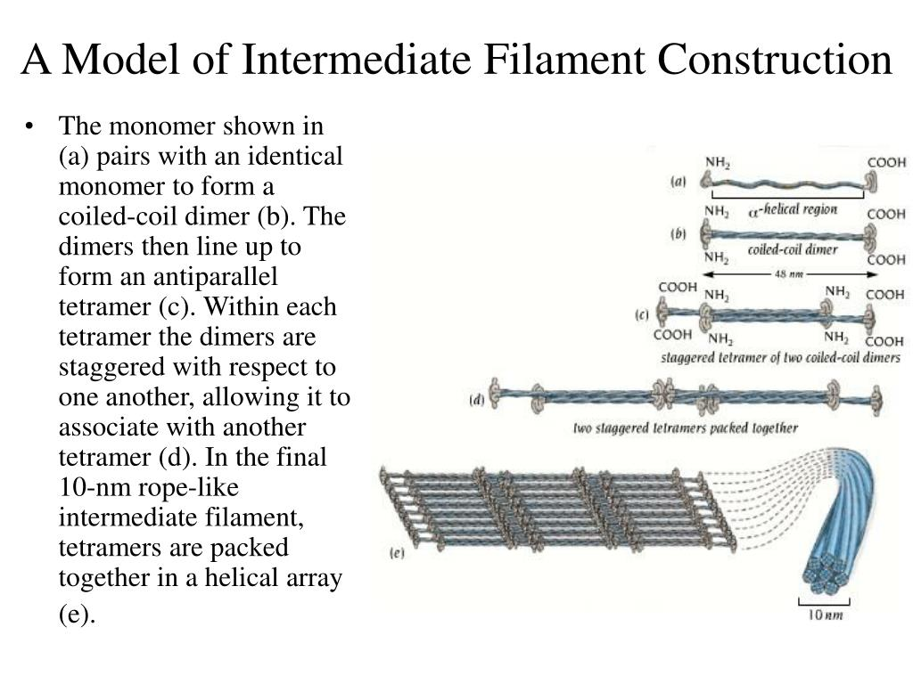 A Model of Intermediate Filament Construction