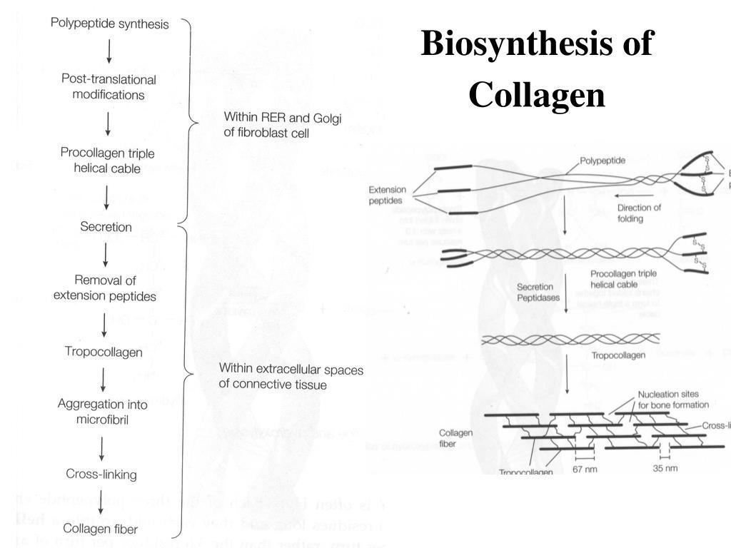 Biosynthesis of Collagen
