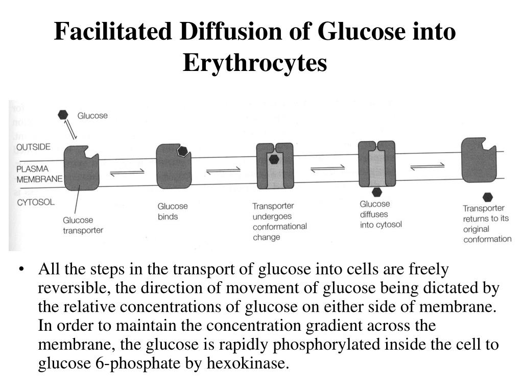 Facilitated Diffusion of Glucose into Erythrocytes