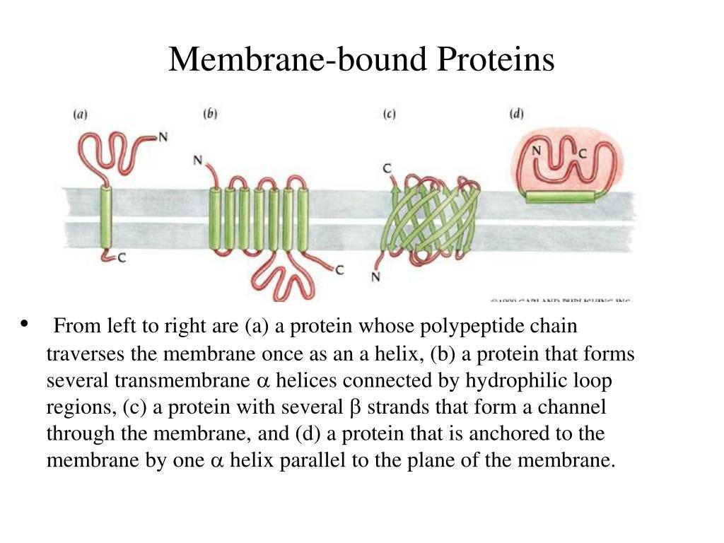 Membrane-bound Proteins