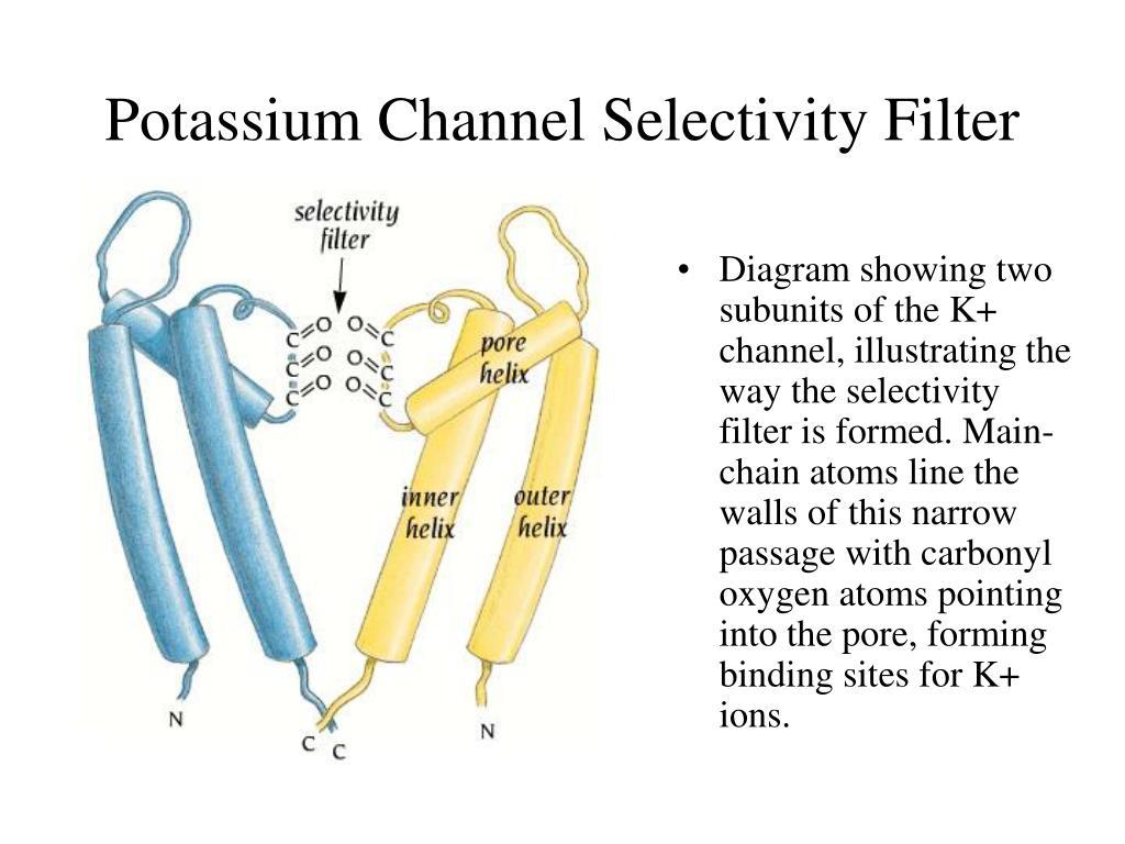 Potassium Channel Selectivity Filter