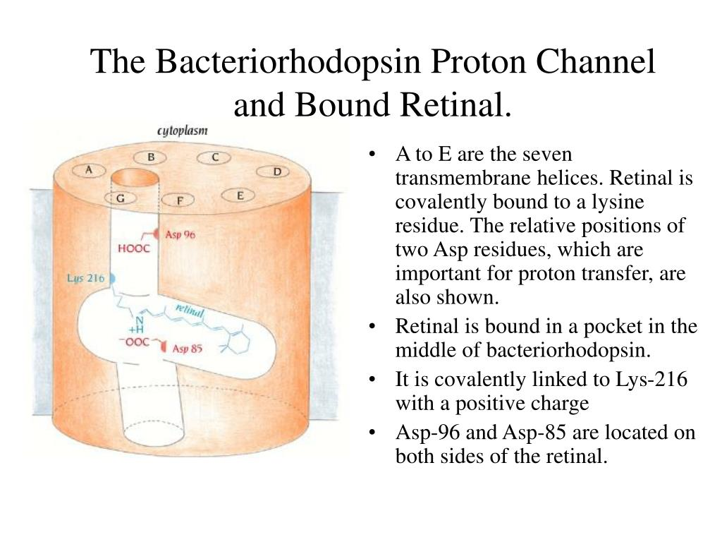 The Bacteriorhodopsin Proton Channel and Bound Retinal.