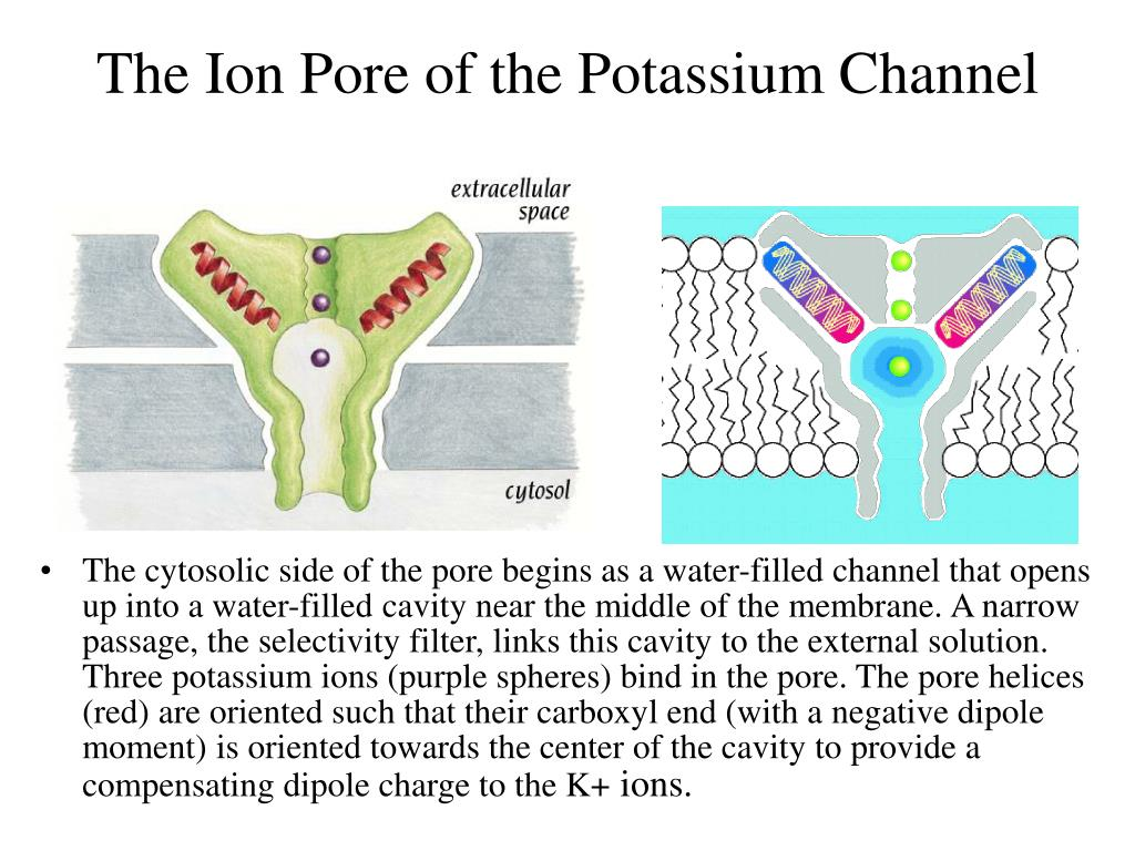 The Ion Pore of the Potassium Channel
