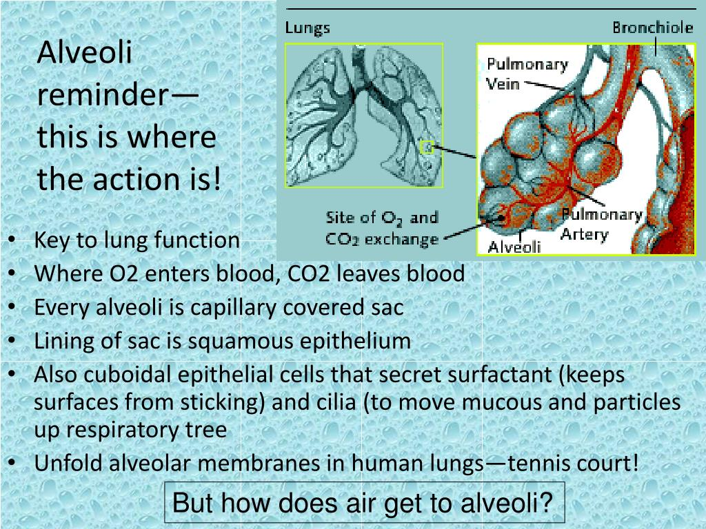 Alveoli reminder—this is where the action is!