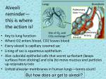 alveoli reminder this is where the action is