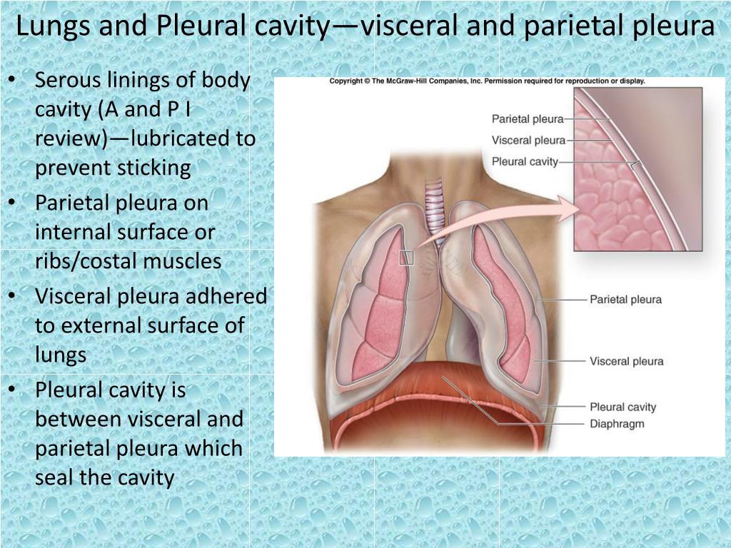 Lungs and Pleural cavity—visceral and parietal pleura