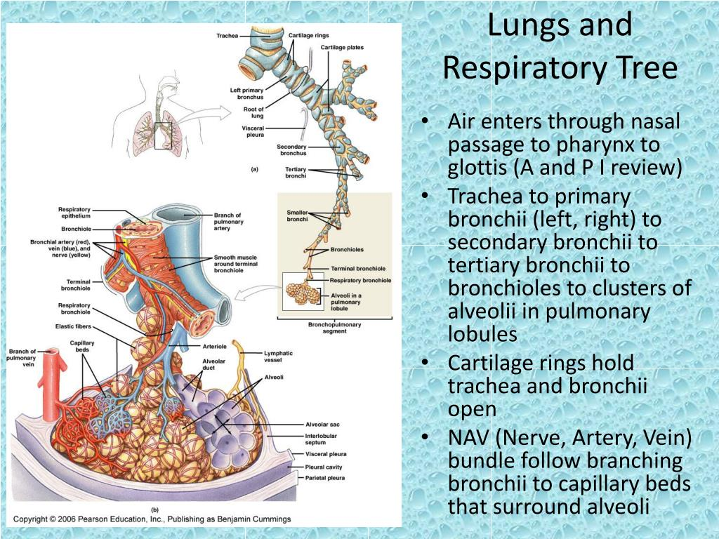 Lungs and Respiratory Tree